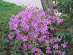 Girard's Karen Azalea (Rhododendron 'Girard's Karen') at Roger's Gardens