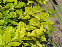 Golden Privet (Ligustrum x vicaryi) at Roger's Gardens