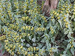 Hermann's Pride Yellow Archangel (Lamiastrum galeobdolon 'Hermann's Pride') at Roger's Gardens
