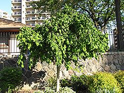 Harry Lauder's Walking Stick (tree form) (Corylus avellana 'Contorta (tree form)') at Roger's Gardens