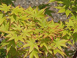 Coral Bark Japanese Maple (Acer palmatum 'Sango Kaku') at Roger's Gardens