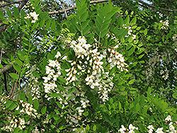 Black Locust (Robinia pseudoacacia) at Roger's Gardens