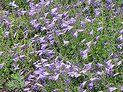 Birch Hybrid Bellflower (Campanula 'Birch Hybrid') at Roger's Gardens
