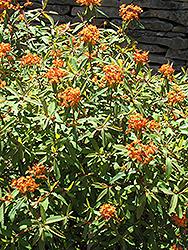 Fireglow Spurge (Euphorbia griffithii 'Fireglow') at Roger's Gardens