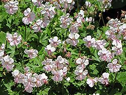 Biokovo Cranesbill (Geranium x cantabrigiense 'Biokovo') at Roger's Gardens