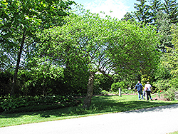 Hop Tree (Ptelea trifoliata) at Roger's Gardens