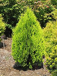 Berkman's Gold Arborvitae (Thuja orientalis 'Aurea Nana') at Roger's Gardens