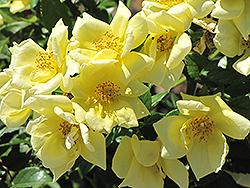 Flower Carpet Yellow Rose (Rosa 'Flower Carpet Yellow') at Roger's Gardens