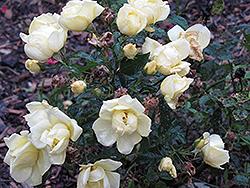 Flower Carpet Sunshine Rose (Rosa 'Flower Carpet Sunshine') at Roger's Gardens