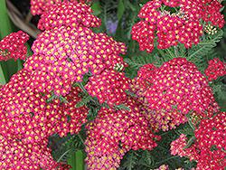 Paprika Yarrow (Achillea millefolium 'Paprika') at Roger's Gardens