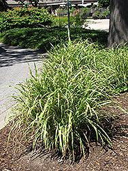 Little Nicky Maiden Grass (Miscanthus sinensis 'Little Nicky') at Roger's Gardens
