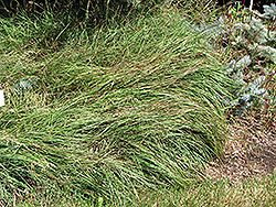 Blue Sedge (Carex flacca) at Roger's Gardens