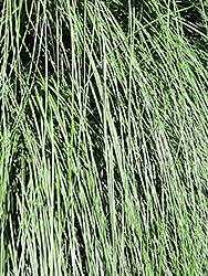 Yaku Jima Dwarf Maiden Grass (Miscanthus sinensis 'Yaku Jima') at Roger's Gardens