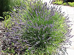 Grosso Lavender (Lavandula x intermedia 'Grosso') at Roger's Gardens