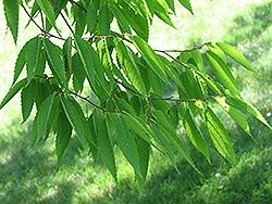 Japanese Zelkova (Zelkova serrata) at Roger's Gardens