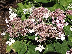Mariesii Hydrangea (Hydrangea macrophylla 'Mariesii') at Roger's Gardens
