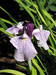 Chiyo no Haru Japanese Flag Iris (Iris ensata 'Chiyo no Haru') at Roger's Gardens