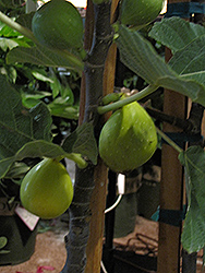 Peter's Honey Fig (Ficus carica 'Peter's Honey') at Roger's Gardens