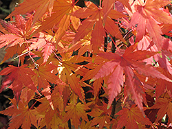 Orange Dream Japanese Maple (Acer palmatum 'Orange Dream') at Roger's Gardens