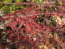 Ground Cotoneaster (Cotoneaster horizontalis) at Roger's Gardens