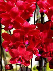 Evergreen Hill Orchid (Phalaenopsis 'Evergreen Hill') at Roger's Gardens