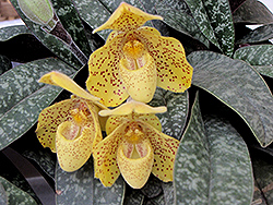 One Colored Orchid (Paphiopedilum concolor) at Roger's Gardens