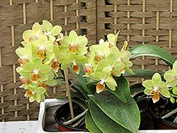 Hybrid Moth Orchid (Phalaenopsis x hybrida) at Roger's Gardens