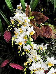 Snow Apple Orchid (Phalaenopsis 'Snow Apple') at Roger's Gardens