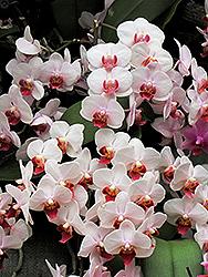 Duki Ho's Fancy Leopard Orchid (Phalaenopsis 'Duki Ho's Fancy Leopard') at Roger's Gardens