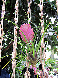 Pink Quill (Tillandsia cyanea) at Roger's Gardens
