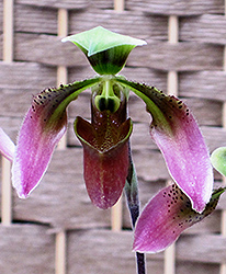 Appleton's Orchid (Paphiopedilum appletonianum) at Roger's Gardens
