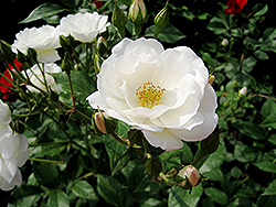 White Simplicity Rose (Rosa 'White Simplicity') at Roger's Gardens