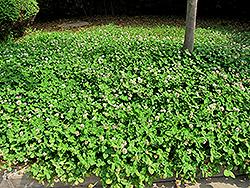 White Clover (Trifolium repens 'var. repens') at Roger's Gardens