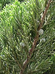 Kaizuka Juniper (Juniperus chinensis 'Kaizuka') at Roger's Gardens