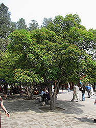 Chinese Photinia (Photinia serrulata) at Roger's Gardens