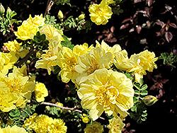Flore Pleno Rose (Rosa hugonis 'Flore Pleno') at Roger's Gardens