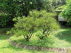 Bidwell's Coral Tree (Erythrina x bidwillii) at Roger's Gardens
