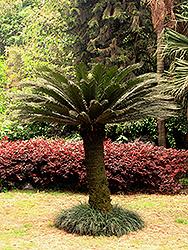 Japanese Sago Palm (Cycas revoluta) at Roger's Gardens