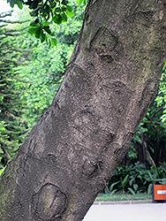 Weeping Fig (Ficus benjamina) at Roger's Gardens