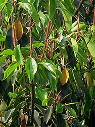 Indian Laurel Fig (Ficus microcarpa) at Roger's Gardens