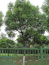 Camphor Tree (Cinnamomum camphora) at Roger's Gardens