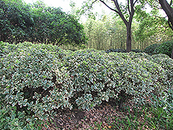 Silver King Euonymus (Euonymus japonicus 'Silver King') at Roger's Gardens