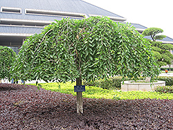 Weeping Siberian Elm (Ulmus pumila 'Pendula') at Roger's Gardens