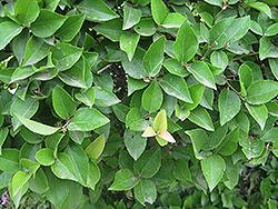 Xylosma (Xylosma racemosum) at Roger's Gardens