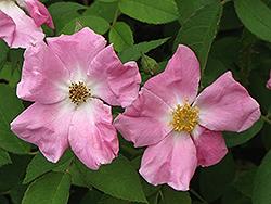Rugosa Rose (Rosa rugosa) at Roger's Gardens