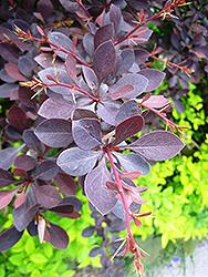 Red Leaf Japanese Barberry (Berberis thunbergii 'Atropurpurea') at Roger's Gardens
