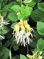 Hall's Japanese Honeysuckle (Lonicera japonica 'Halliana') at Roger's Gardens