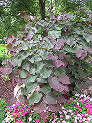 Forest Pansy Redbud (Cercis canadensis 'Forest Pansy') at Roger's Gardens