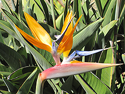 Dwarf Orange Bird Of Paradise (Strelitzia reginae 'Dwarf') at Roger's Gardens