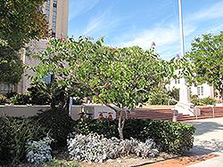 Hong Kong Orchid Tree (Bauhinia x blakeana) at Roger's Gardens